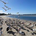 Pelicans and birds