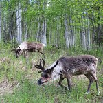 Reindeer of all ages enjoy feeding in the forest as we walk with them.