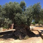 Olive Tree Museum of Vouves Foto