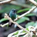 Stripe Tailed Hummingbird spotted at Catarata Los Murcielagos, Monteverde