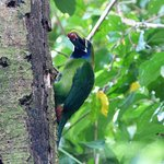 Northern Emerald Toucanet feeding its young at Curi Cancha Reserve. Monteverde Wild Hikes