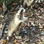 Begging raccoon