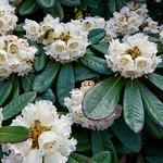 Rhododendron arizelum rubicosum, Subsection Falconera