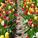 Rows upon rows of beautiful Tulips.
