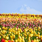 Mount Hood in the distance with the Tulips.