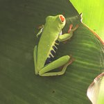 Red Eyed Green TreeFrog