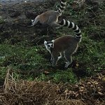Anja Reserve lemurs getting a morning drink of water.