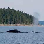 A couple of humpback whales