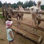 На верблюжьей ферме и зоодворе (все животные очень чистые и ухоженные)