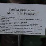 Mountain Pawpae