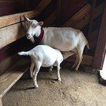 Kid goat nursing