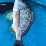 A large bream