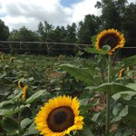 you pick sunflowers