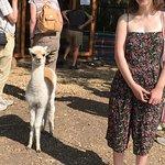 Bilde fra Hensting Alpacas