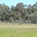 kangaroos in the field