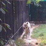 Their white tiger.