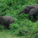 elephants at kazinga channel
