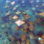 School of Approximately 2000 cownose rays off the coast of La Paz, Mexico