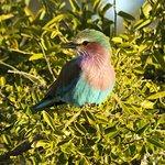 """El pájaro """"Lilac Breasted Roller"""" abunda"""