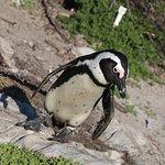 Stony Point Penguin Colony照片