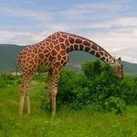 Although sometimes also called netted or Somali giraffe.