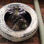 Cacti in a tire