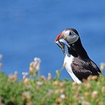 A puffin beside its burrow.