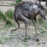 Huge Ostriches