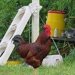 chicken on a farm in ethridge, tn