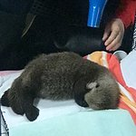 Baby otter orphaned
