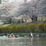 お花見カヌー(Cherry kayak tour)