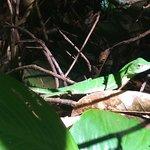 Green Crested Lizards