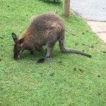 Feeding a wallaby