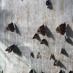 Butterflies drying their wings