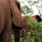 Silently the Giants move through the African Bush - A Wild Horizons Elephant Encounter