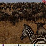 Herd of Wildebeeste