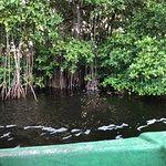 Caroni Swamp resmi