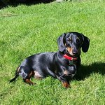 Our Miniature Dachshund who stayed with us