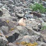 A coastal Marmot.