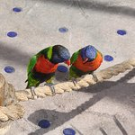 Lorikeet Pair #3