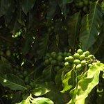 Kauai Coffee Company의 사진