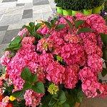 עציץ אורטנזיות בחנות הפרחים שבכיכר