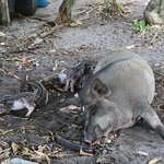 Wild pigs on the last island we visited