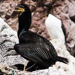 sund loving cormorant..