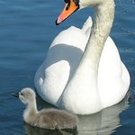 Mute swan and her signet