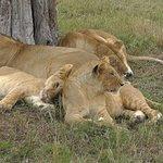 Löwenfamilie Mara