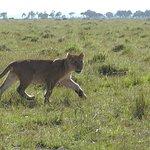 junger Löwe Mara Triangle