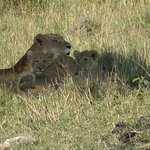 Löwenfamilie Mara Triangle Serena