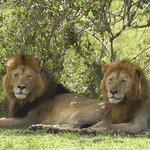 Lion-Coalition Mara Triangle