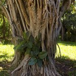Trunk of a Florida fig tree.